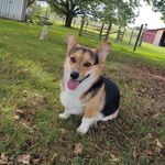 Augustus Taylor Fulton - @augustus_gus_the_corgi - Instagram