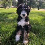 Corbin the Bernedoodle - @corbin__thedoodle - Instagram