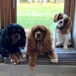 Bertie, Bailey And Dudley - @cavalier_love_king_charles - Instagram