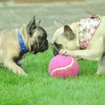 Betty & Dudley French Bulldog - @bettyanddudley - Instagram