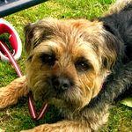 Bobby • Border Terrier - @bobby.the.borderr - Instagram