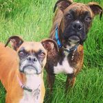 Dixie Ruger And Luna - @dixie.ruger_theboxerdogs - Instagram