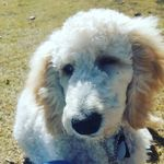 Dollie: Guide Dog Rookie - @guidedogsgalore - Instagram
