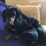 Dolly & Dudley Dachshund - @doloresdudleydachshund - Instagram