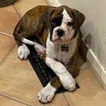 Doug Dog - @doug_d_boxerdog - Instagram