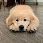 Doug - @doug.the.dog.lion - Instagram
