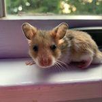 🐹Biscuit Earl Drummer🐹 - @biscuit.bed.hamster - Instagram