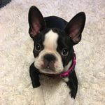 Eleanor Stevenson - @eleanor_the_boston_puppy - Instagram