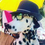 Singer Freddie - @dalmatian.freddie - Instagram