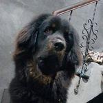 jaffar_kennel - @jaffar_gaddi_dog - Instagram