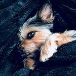 Lola Shapiro - @lola_the_littlest_puppy - Instagram