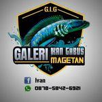 G.I.G Magetan Fish Farm - @galeri.ikan.gabus - Instagram