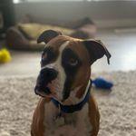 Meghan Hamm - @meg_the_rescue_boxer - Instagram