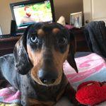 Dudley - @dudley_the_merle_dachshund - Instagram