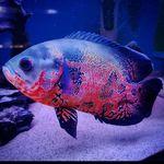 Oscar fish - @oscar_fish_369 - Instagram