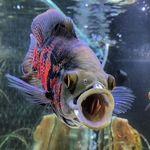 Oscar Fish - @astronotus_explorer - Instagram