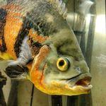 Oscar Fish Keeper - @oscar_fish_keeper - Instagram