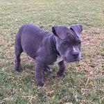 snoop robinson - @gcamstaffysnoopdog - Instagram