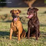 Patterdale Terrier Brasil - @patterdaleterrier - Instagram