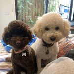 Teddy & Winnie Mosley - @teddybear_and_winniethepoohdle - Instagram